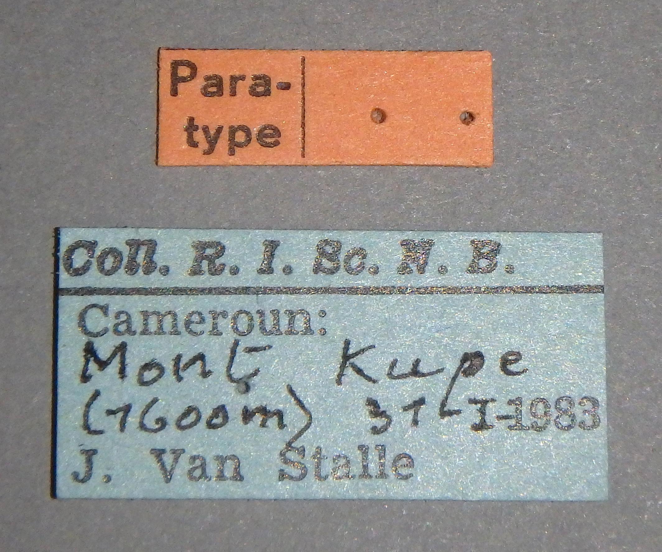 Tropiduchus silvicola pt Lb.JPG