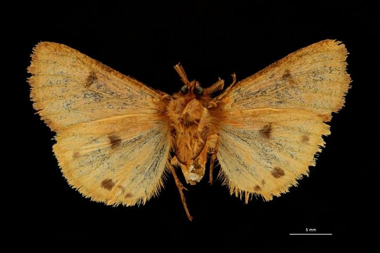 Carcinarctia laeliodes fasciata pt V ZS PMax Scaled.jpeg