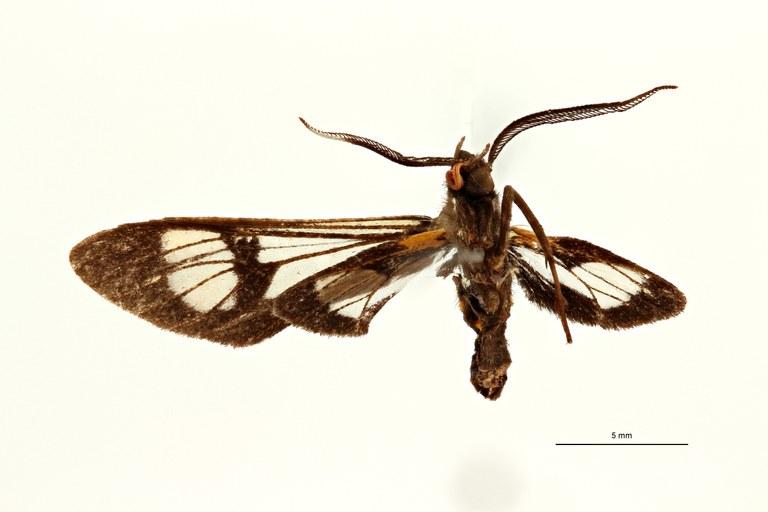 Cosmosoma caecoides t V ZS PMax Scaled.jpeg