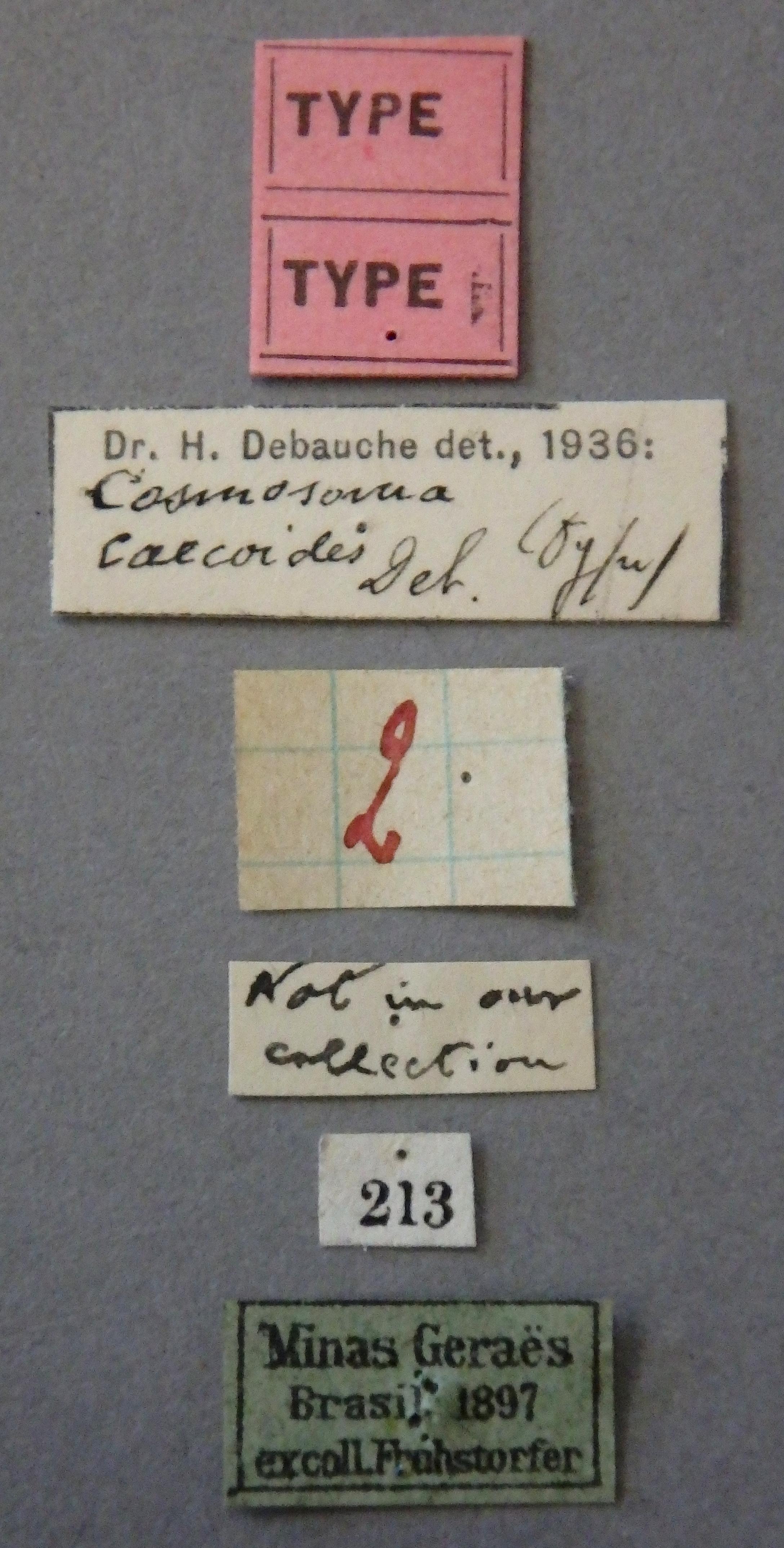 Cosmosoma caecoides t Lb .JPG