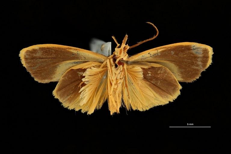 Nishada aureocincta ht V ZS PMax Scaled.jpeg