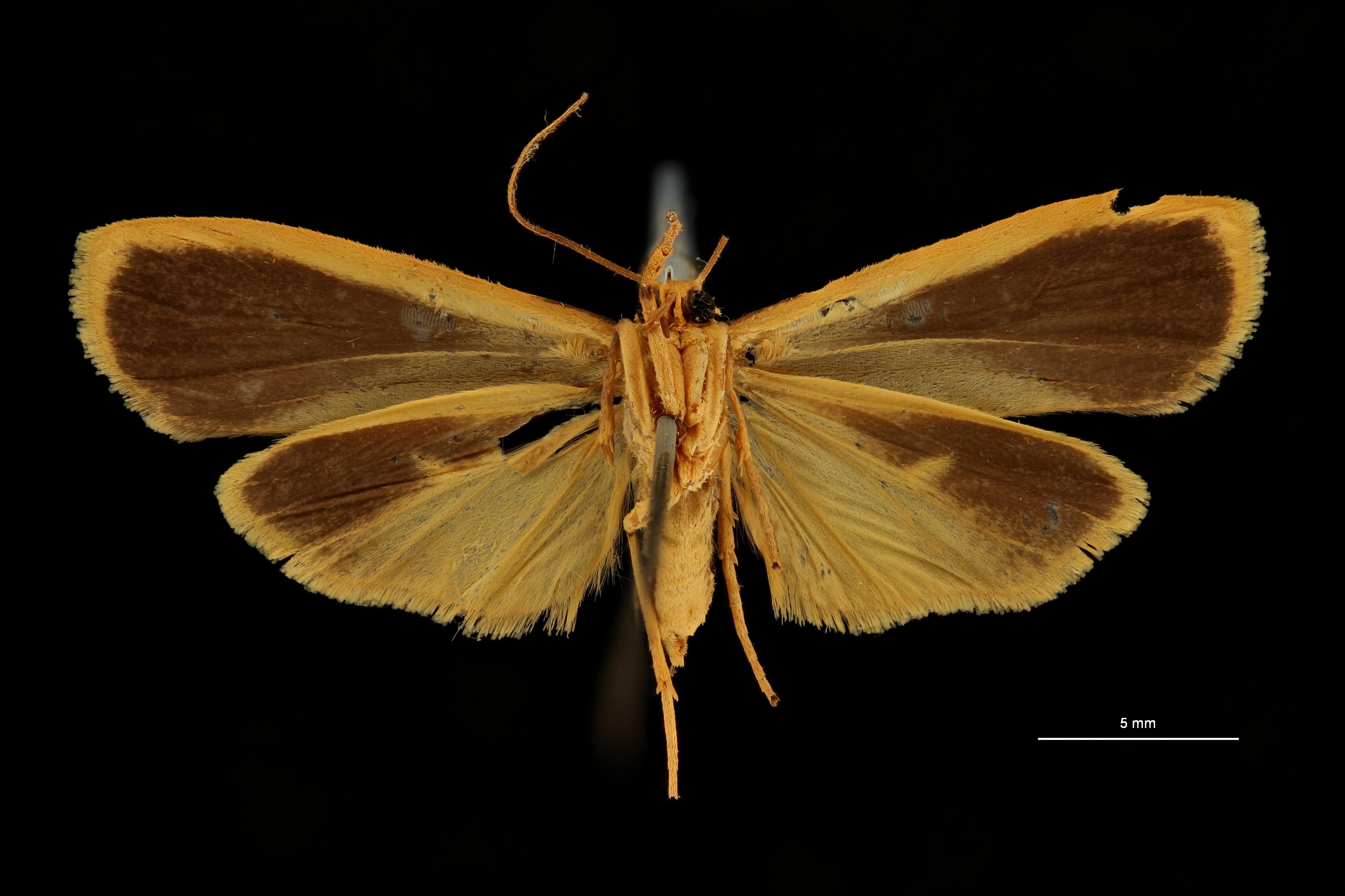 Nishada aureocincta at V ZS PMax Scaled.jpeg