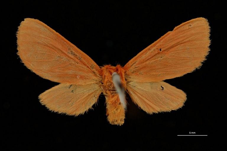 Metarctia subincarnata pt V ZS PMax Scaled.jpeg
