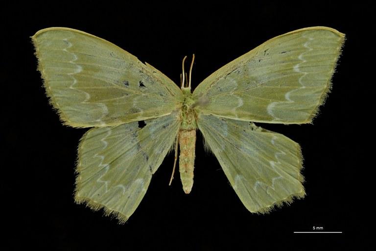 Hemithea fulgurata ht D ZS PMax Scaled.jpeg