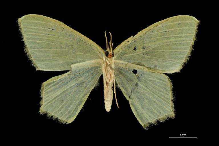 Hemithea fulgurata ht V ZS PMax Scaled.jpeg
