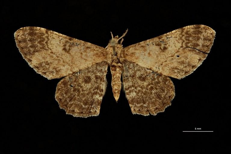 Carecomotis nigrata celebesa ht D ZS PMax Scaled.jpeg