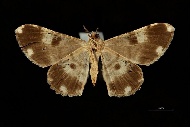Carecomotis nigrata celebesa ht V ZS PMax Scaled.jpeg
