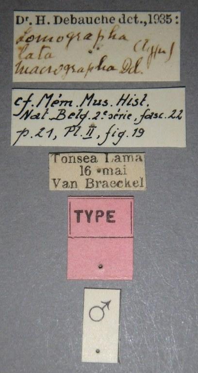Lomographa lata macrographa ht Lb.JPG