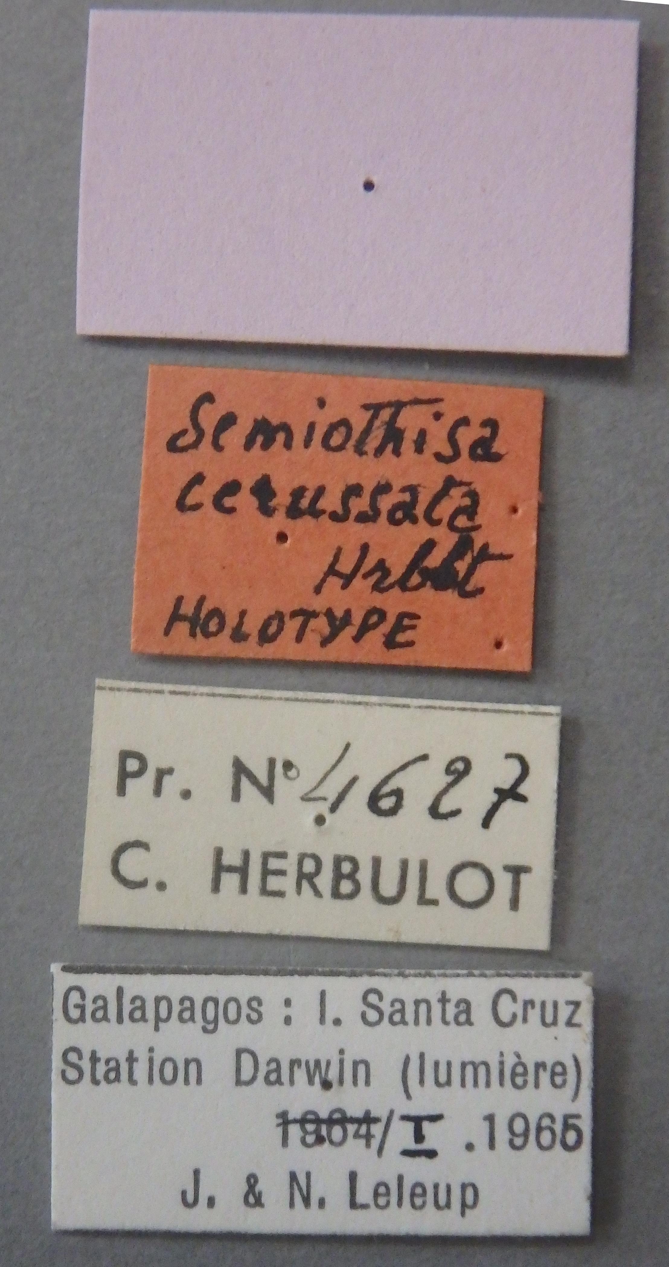 Semiothisa cerussata ht Lb.JPG
