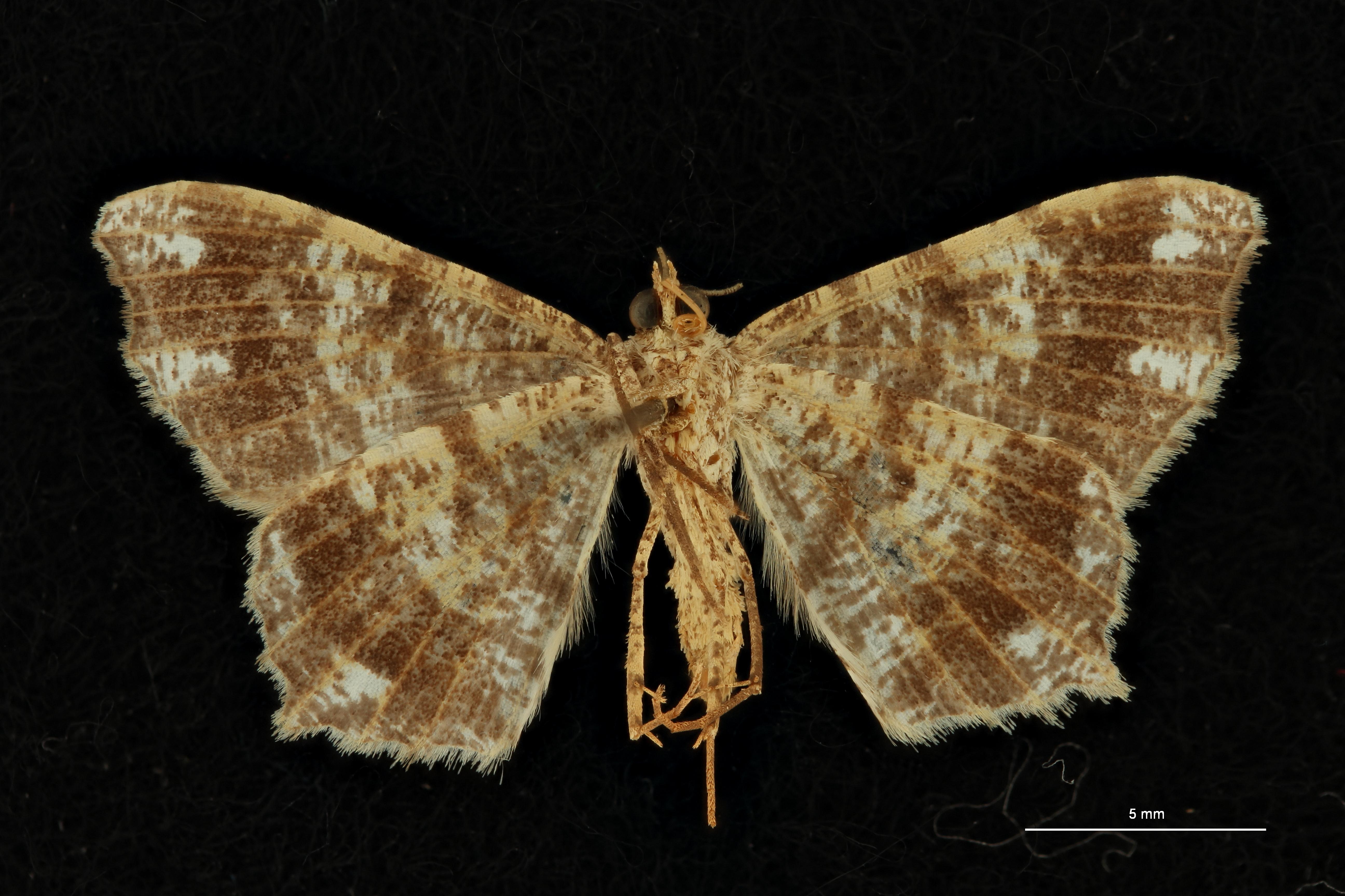 Semiothisa cruciata at V ZS PMax Scaled.jpeg