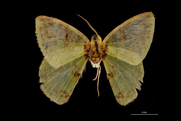 Racheospila nigricincta ligata pt D ZS PMax Scaled.jpeg