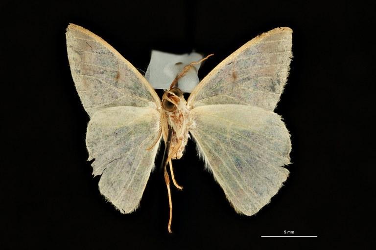 Racheospila nigricincta ligata pt V ZS PMax Scaled.jpeg