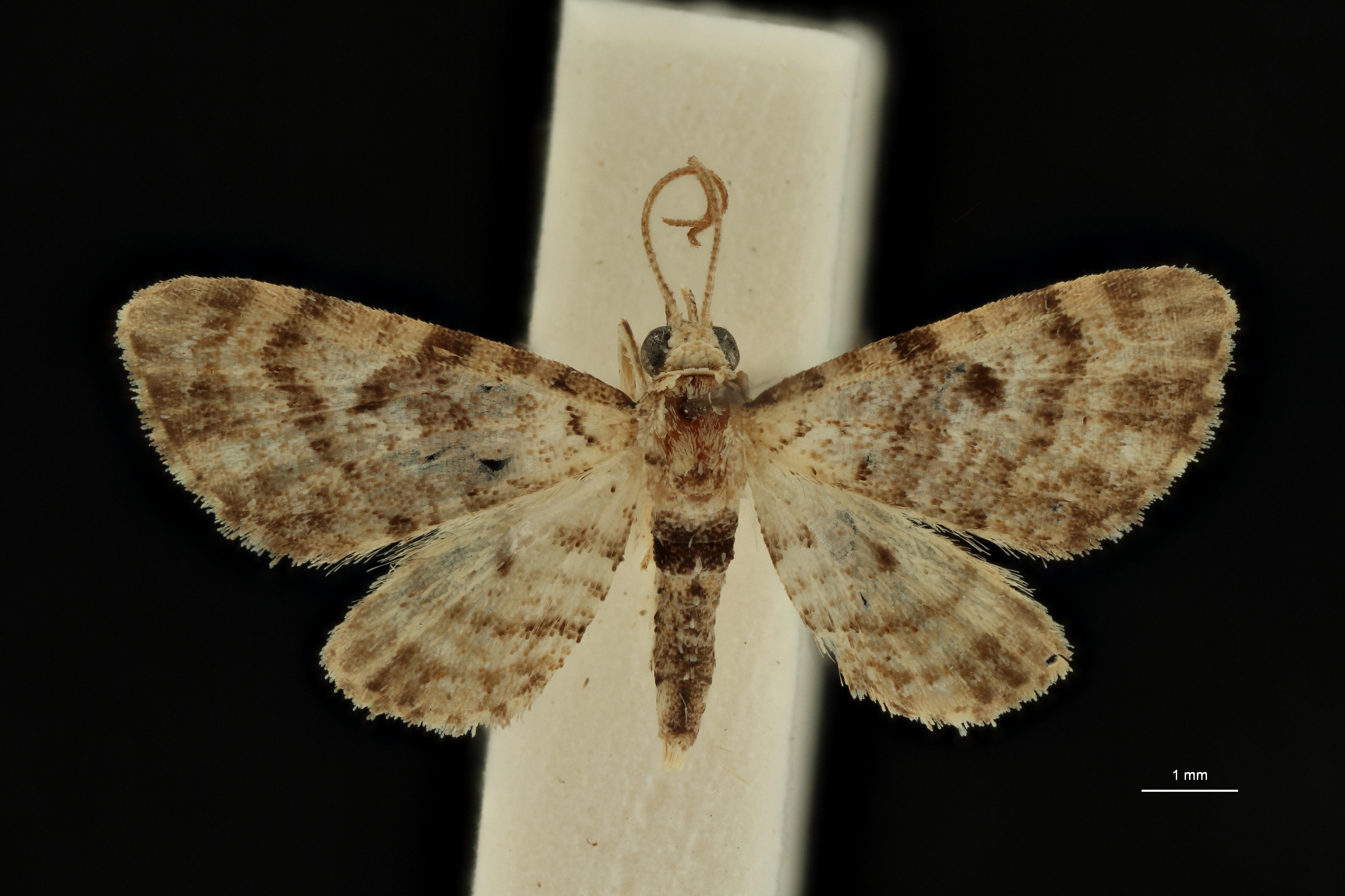Eupithecia leleupi ht D ZS PMax Scaled.jpeg