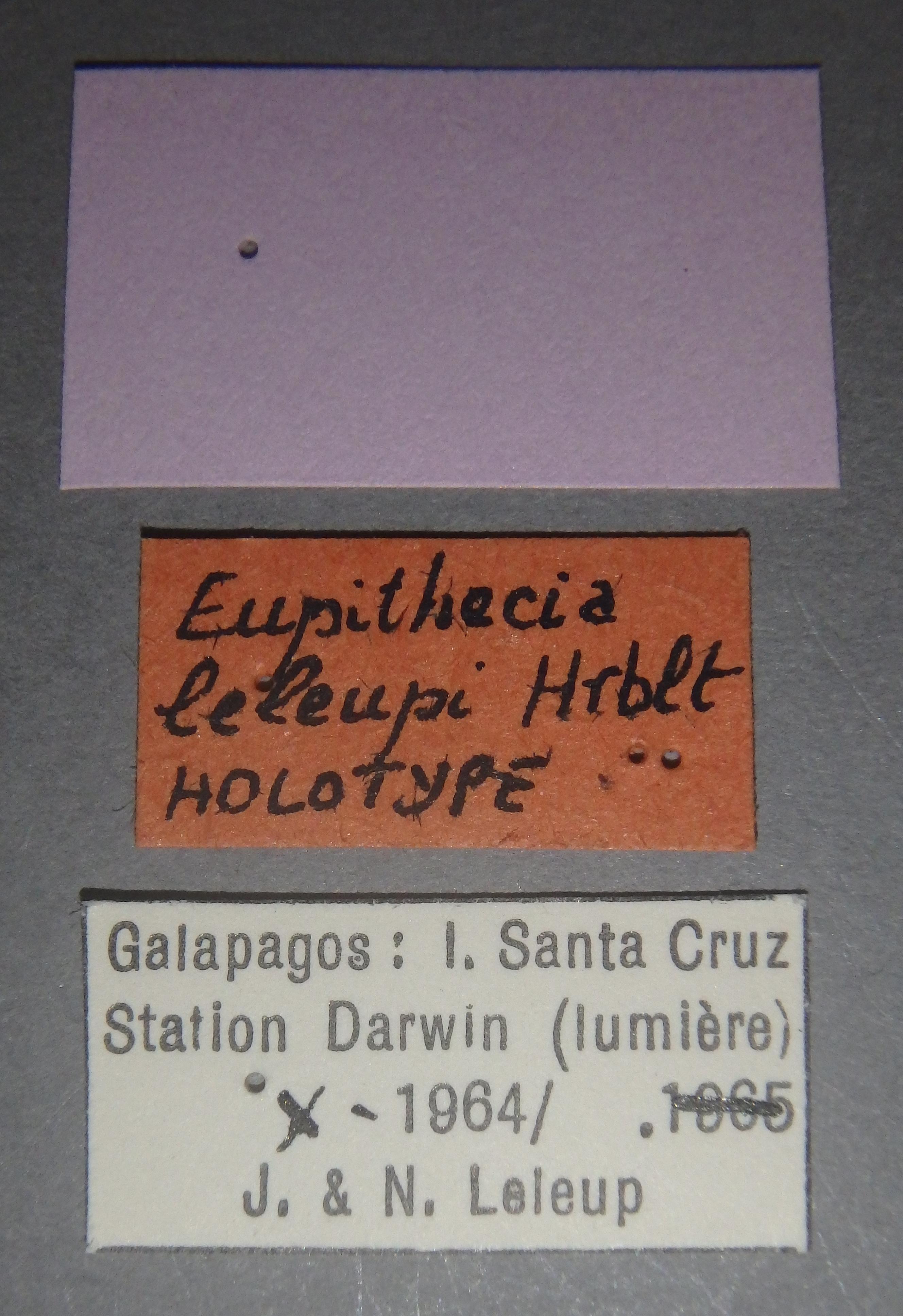 Eupithecia leleupi ht Lb.JPG