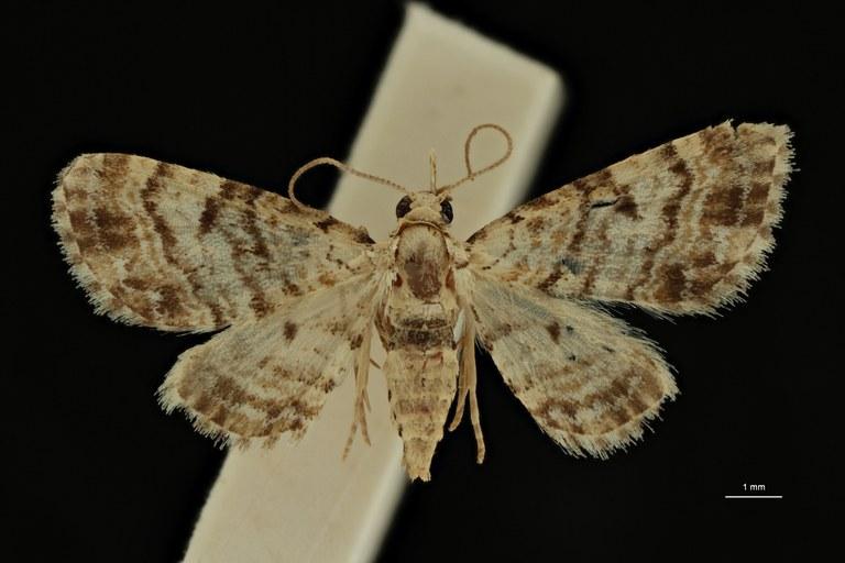 Eupithecia leleupi at D2 ZS PMax Scaled.jpeg