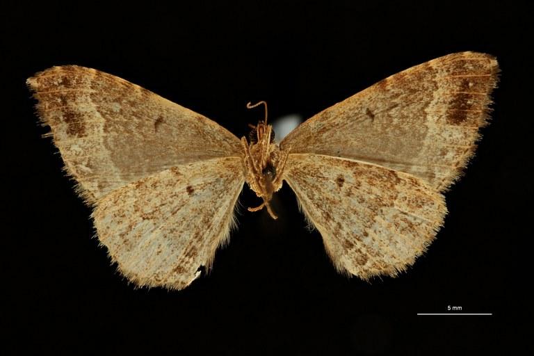 Xanthorhoe leopoldi pt V ZS PMax Scaled.jpeg