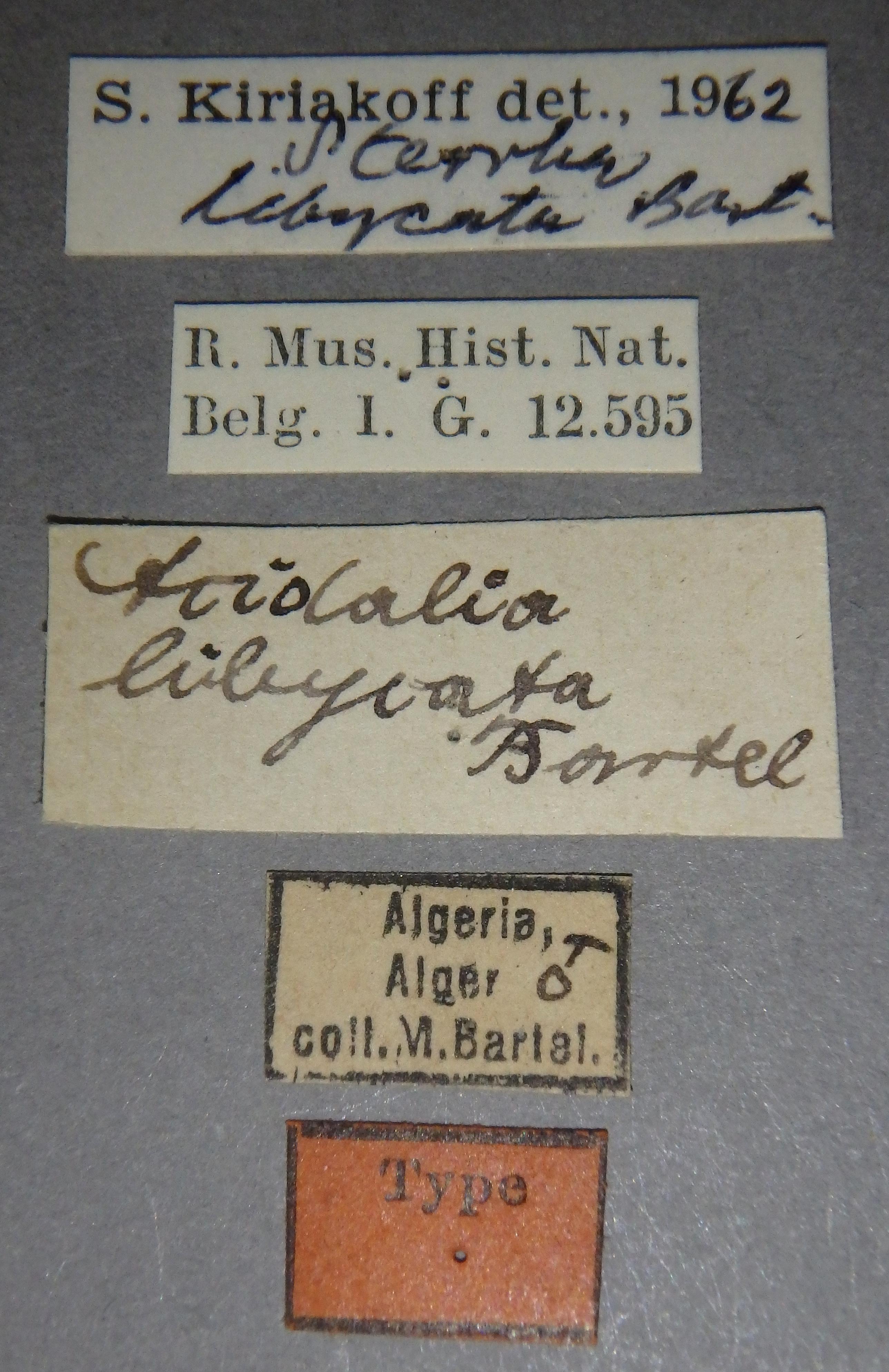 Acidalia libycata ht Lb.JPG