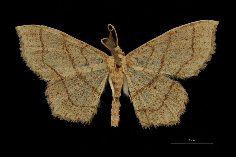 Scopula limosata pt D ZS PMax Scaled.jpeg