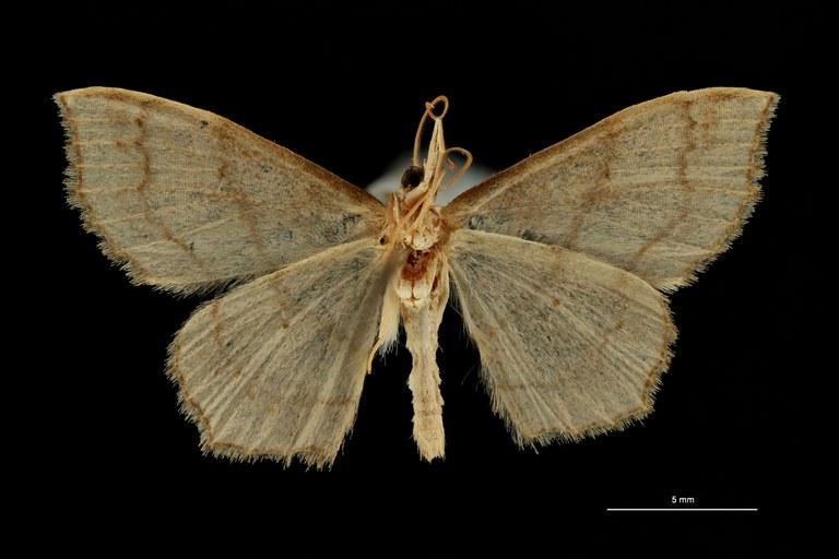 Scopula limosata pt V ZS PMax Scaled.jpeg