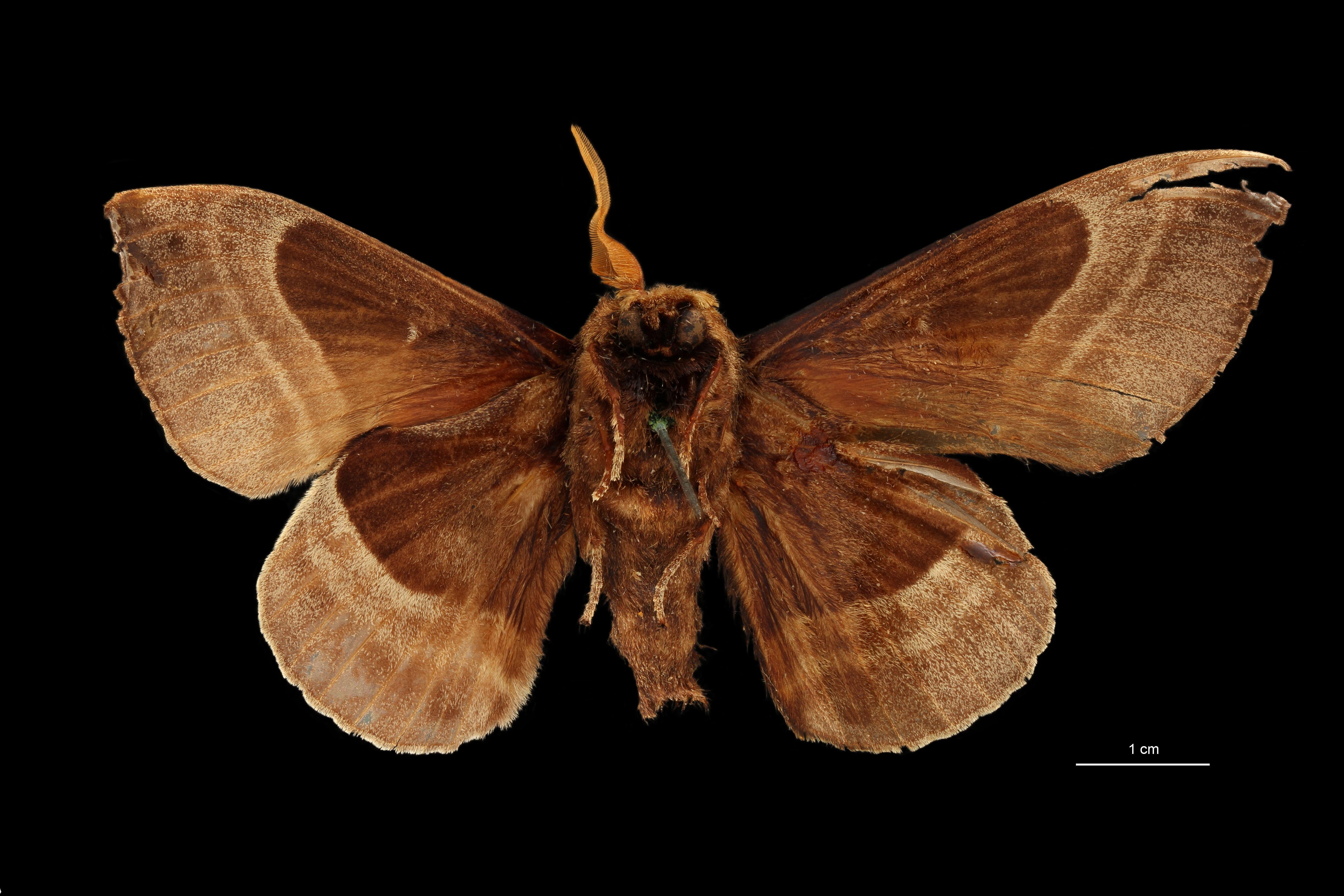 Lebeda nobilis malaccana pt V.jpg