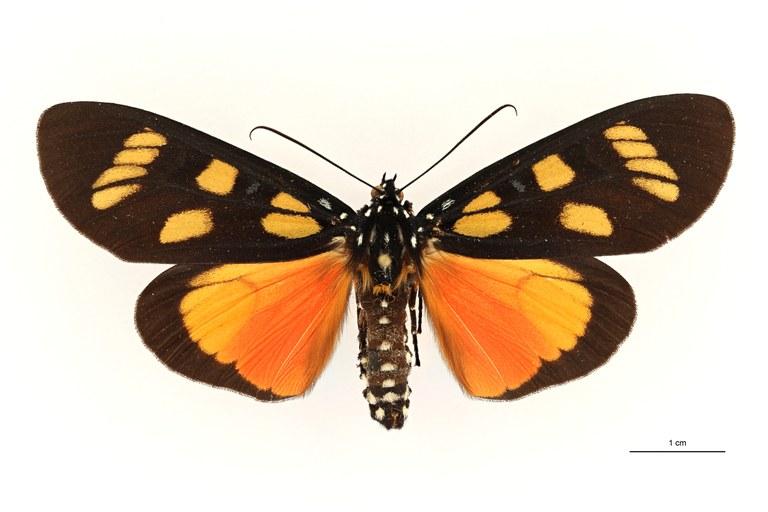 Heraclia hornimani meridionalis ht D ZS PMax Scaled.jpeg