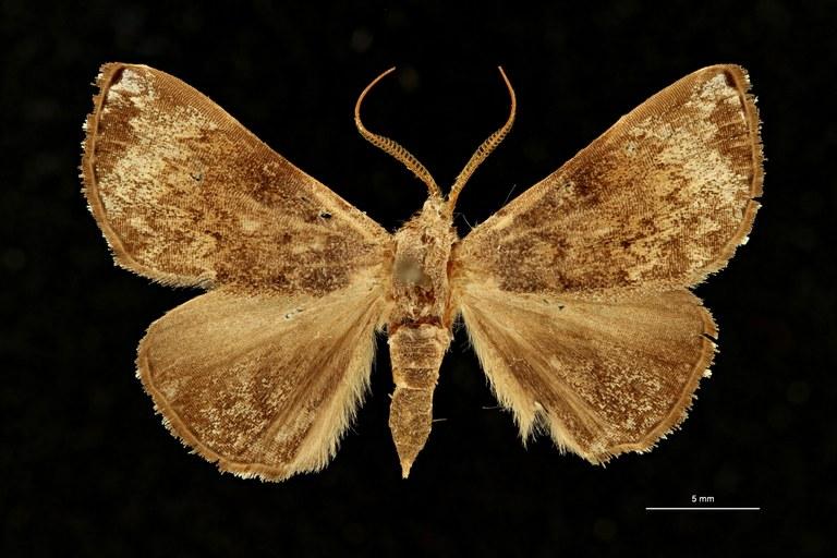 Eubryopterella vaneeckei ht M D ZS PMax Scaled.jpeg