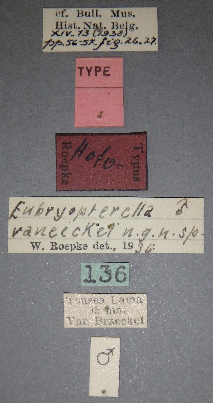 Eubryopterella vaneeckei ht M Lb.JPG