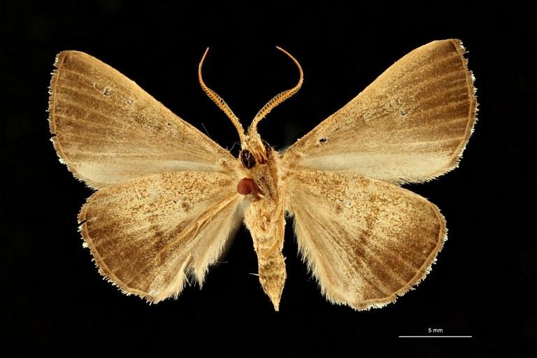Eubryopterella vaneeckei ht M V ZS PMax Scaled.jpeg