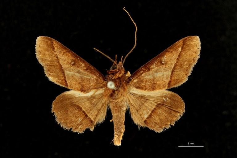 Plecoptera brunnescens ht D ZS PMax Scaled.jpeg