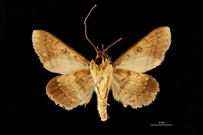 Plecoptera brunnescens ht V ZS PMax Scaled.jpeg