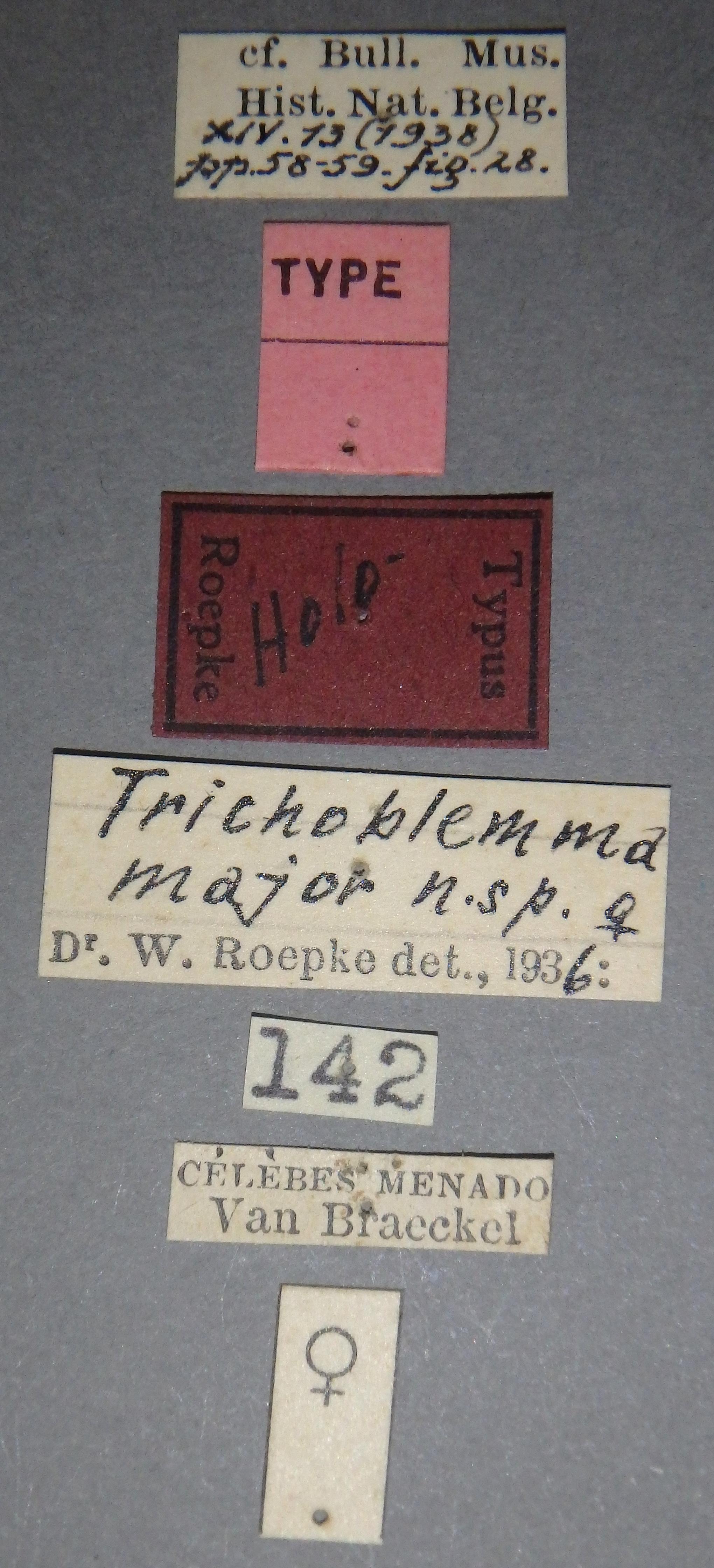 Trichoblemma major ht F Lb.JPG