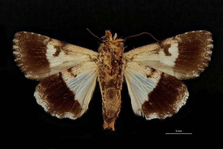 Anophia leucomelas albodiscalis pt V.jpg