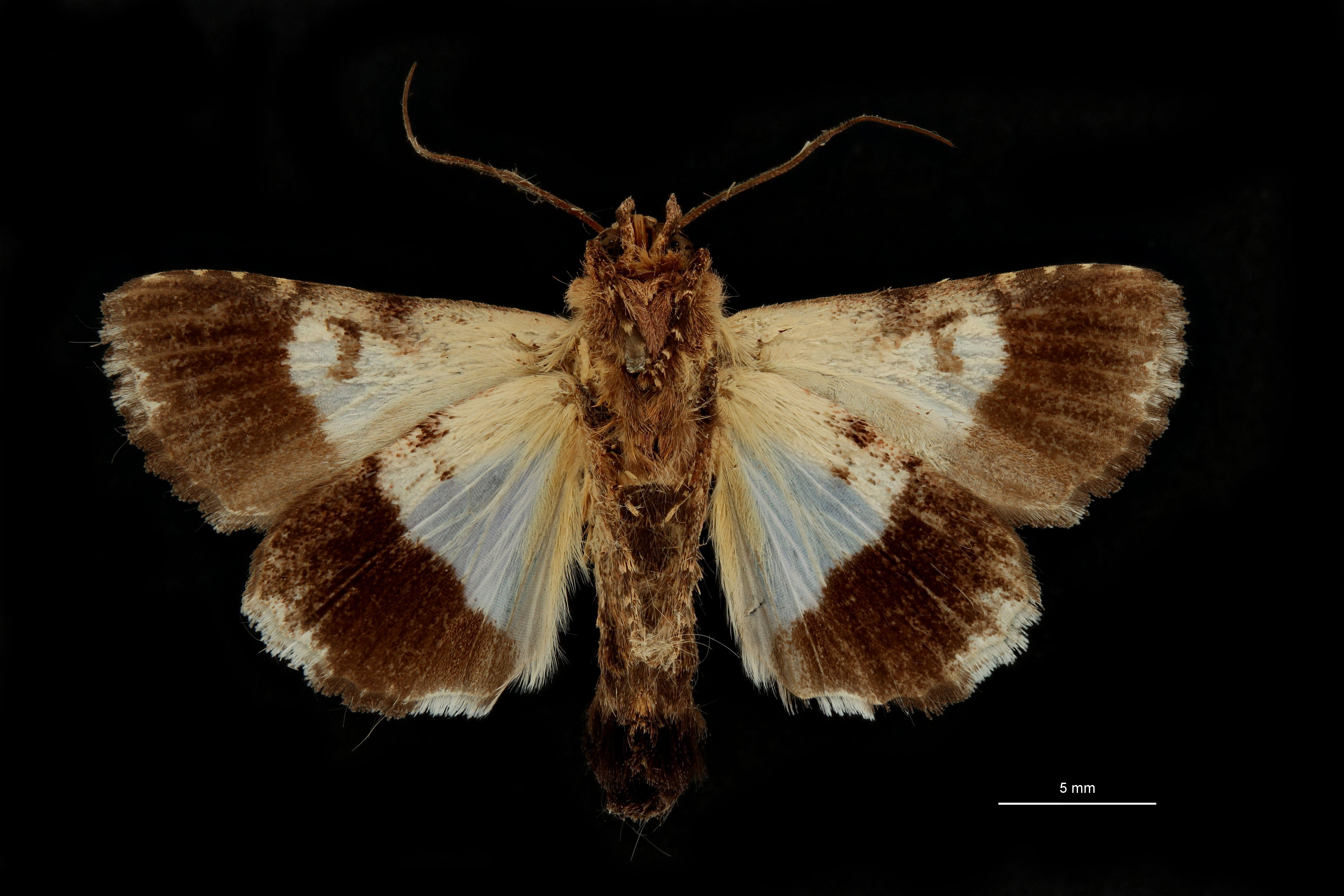 Anophia leucomelas albodiscalis t V.jpg