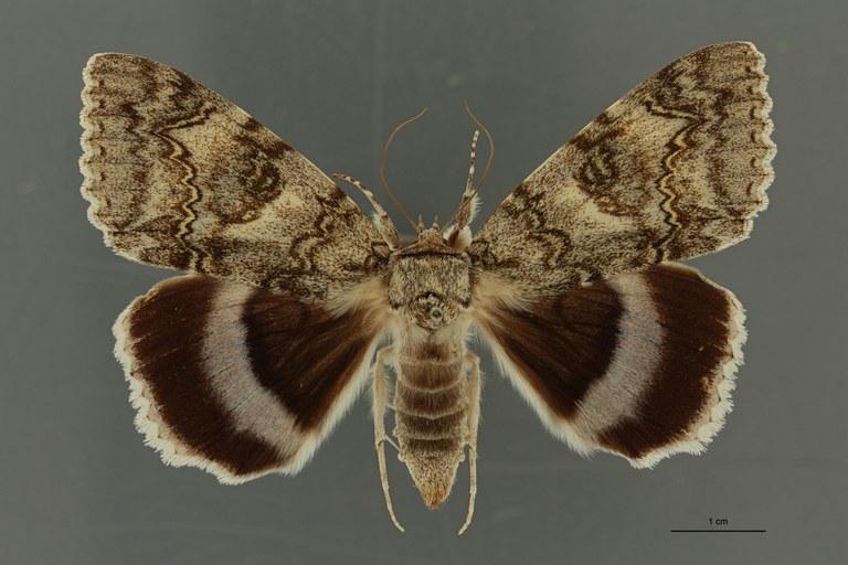 Catocala fraxini ab apunctaleuca t D ZS PMax Scaled.jpeg