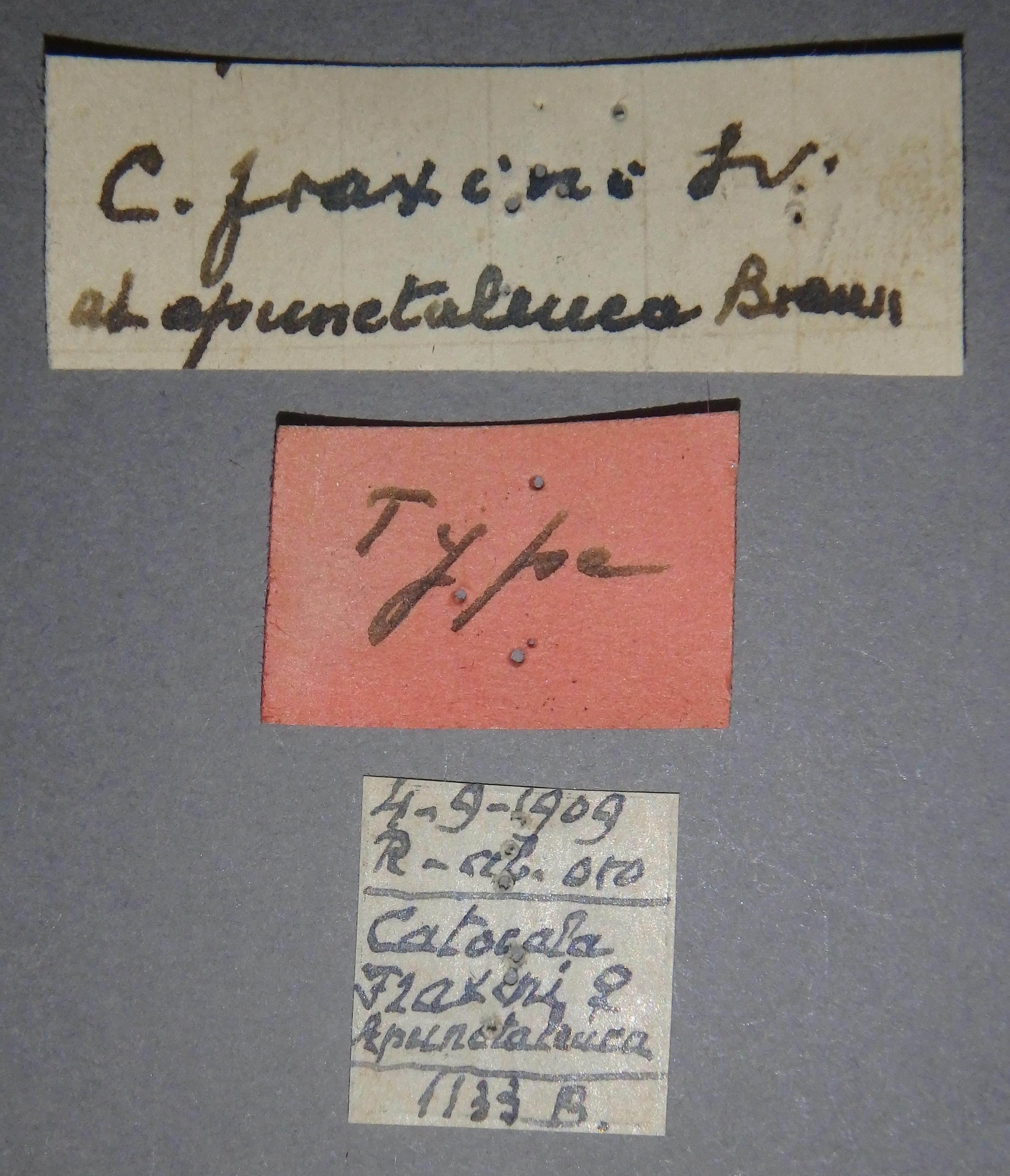 Catocala fraxini ab apunctaleuca t Lb.JPG