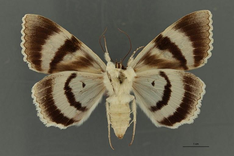 Catocala fraxini ab apunctaleuca t V ZS PMax Scaled.jpeg