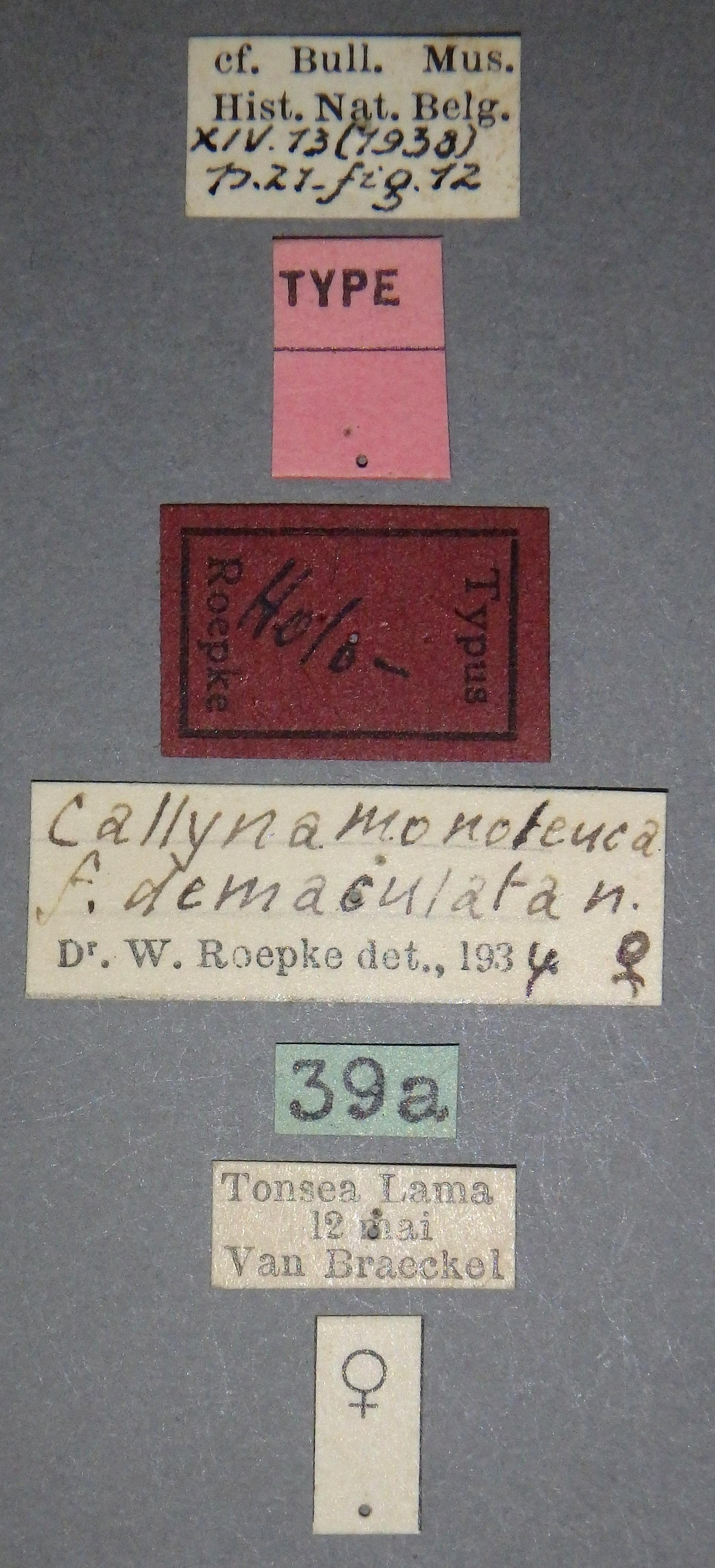 Callyna monoleuca f. demaculata ht Lb.JPG