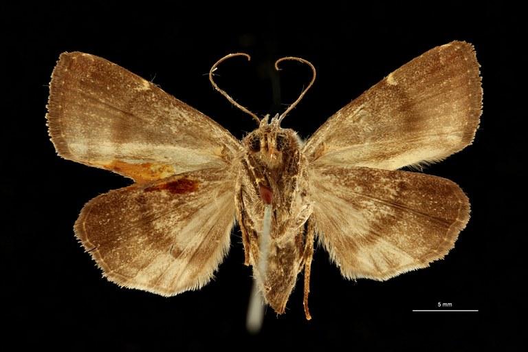 Callyna monoleuca f. demaculata ht V ZS Scaled.jpeg