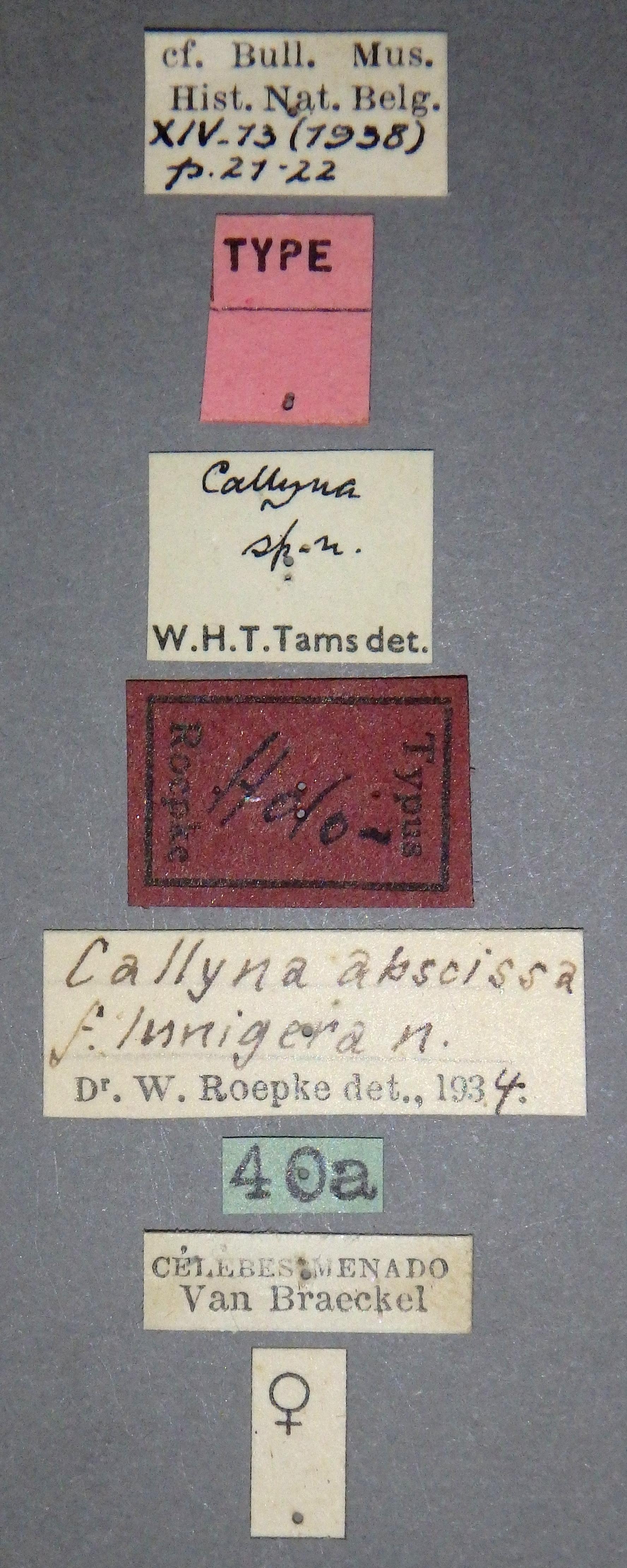 Callyna abscissa f. lunigera ht Lb.JPG