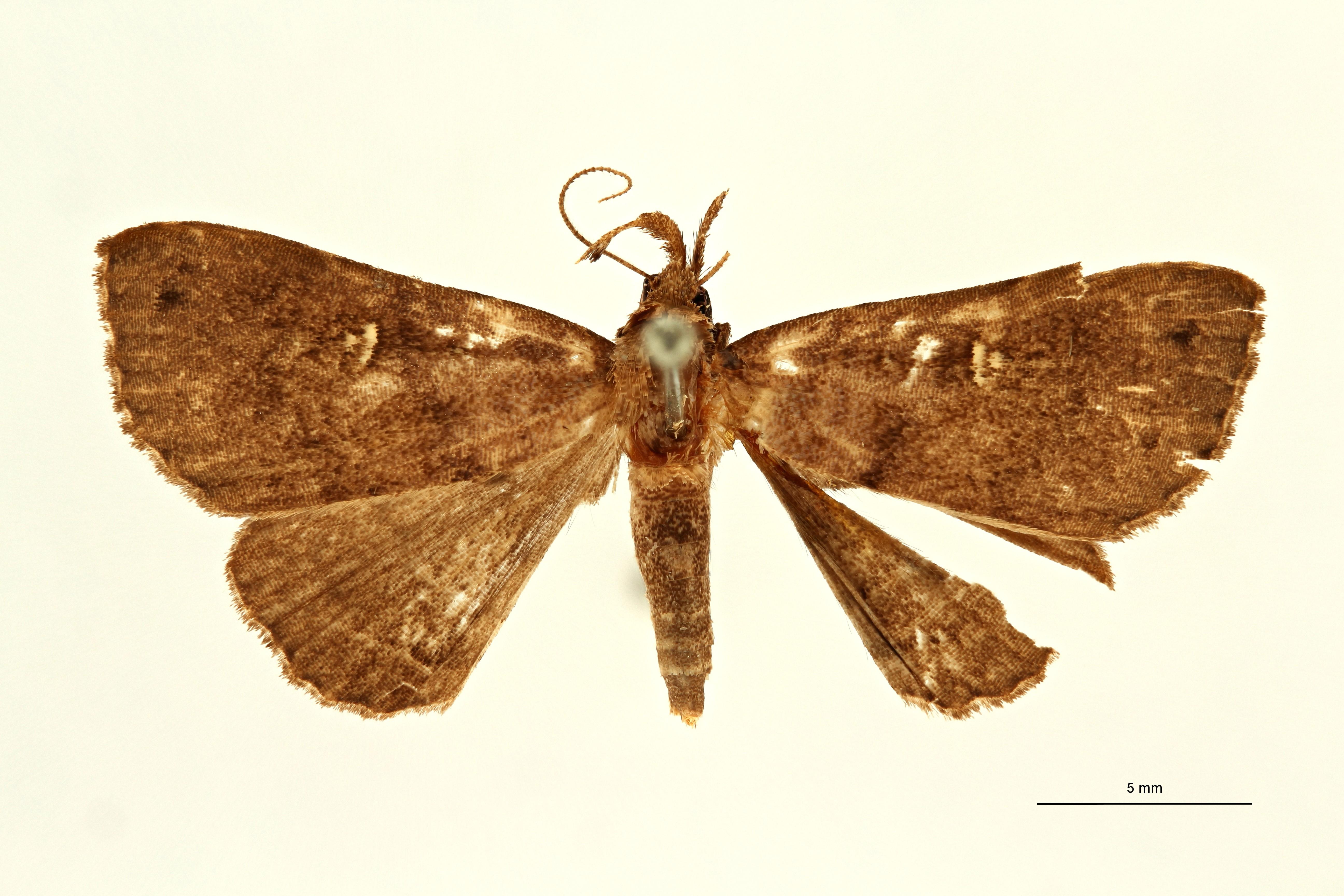 Lysimelia alborenalis ht M D ZS PMax Scaled.jpeg
