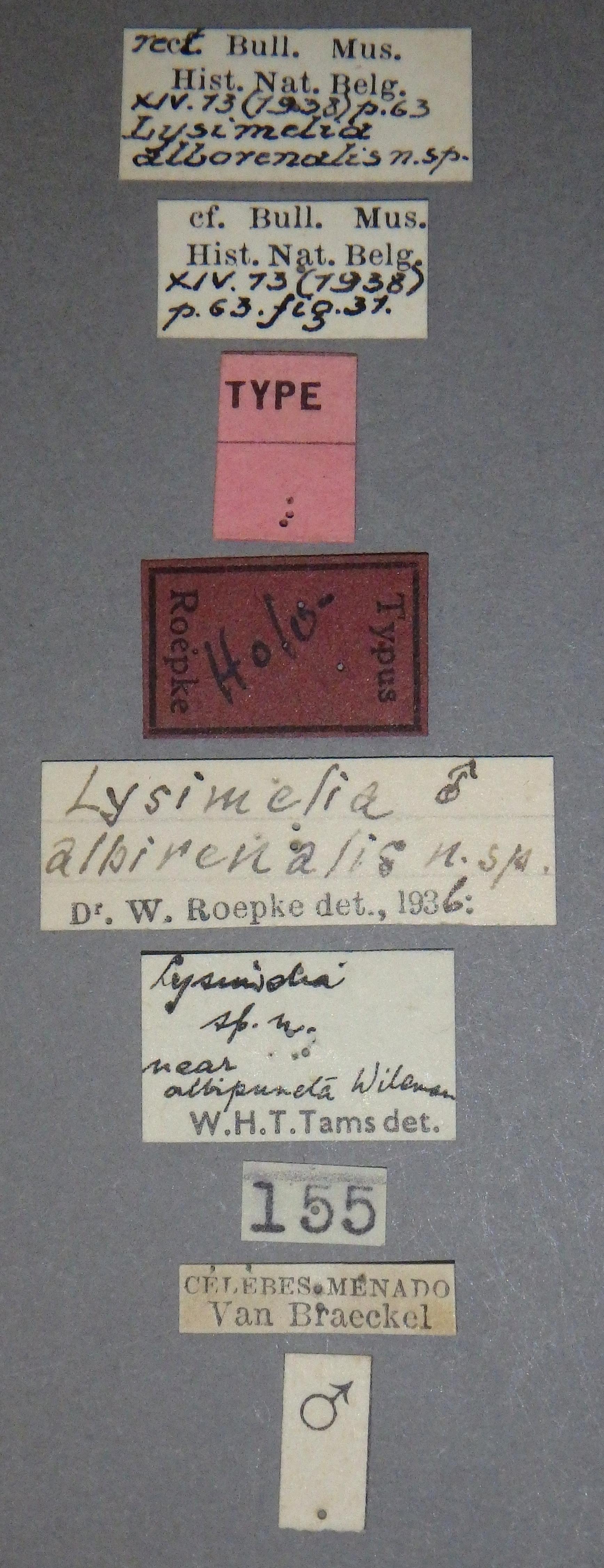 Lysimelia alborenalis ht M Lb.JPG