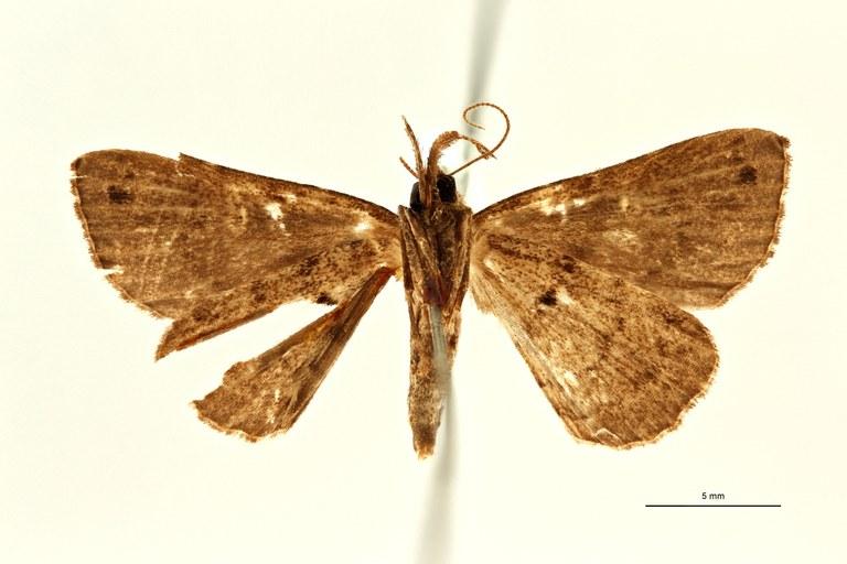 Lysimelia alborenalis ht M V ZS PMax Scaled.jpeg
