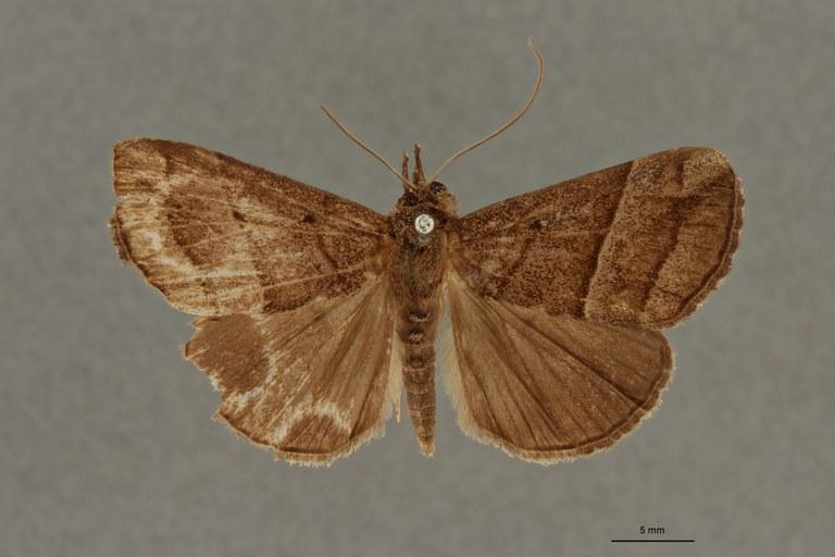 Hypena tristrigatalis pt D.jpg