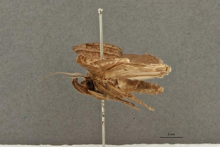Hypena tristrigatalis pt L.jpg