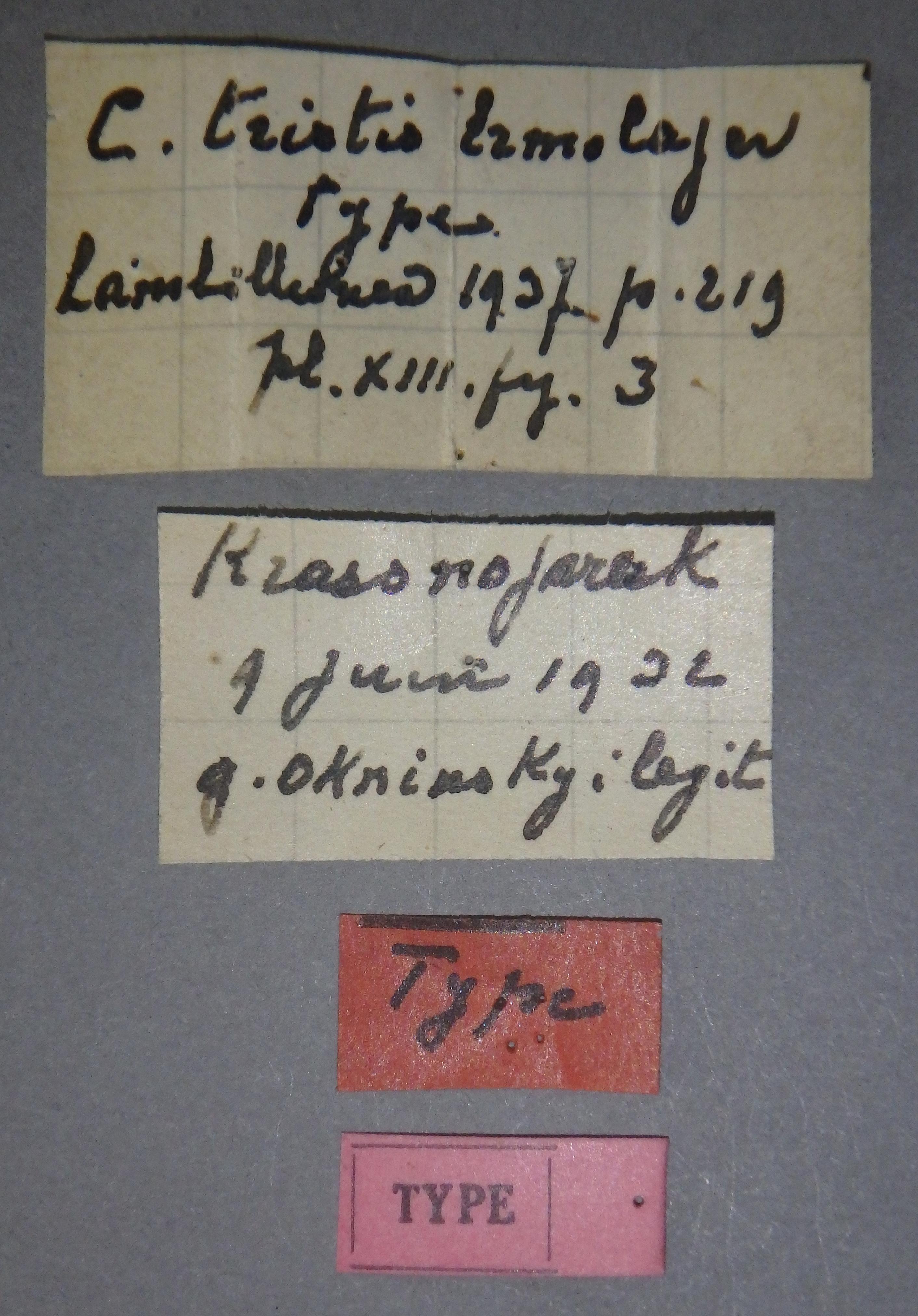 Colocasia tristis t Lb.JPG