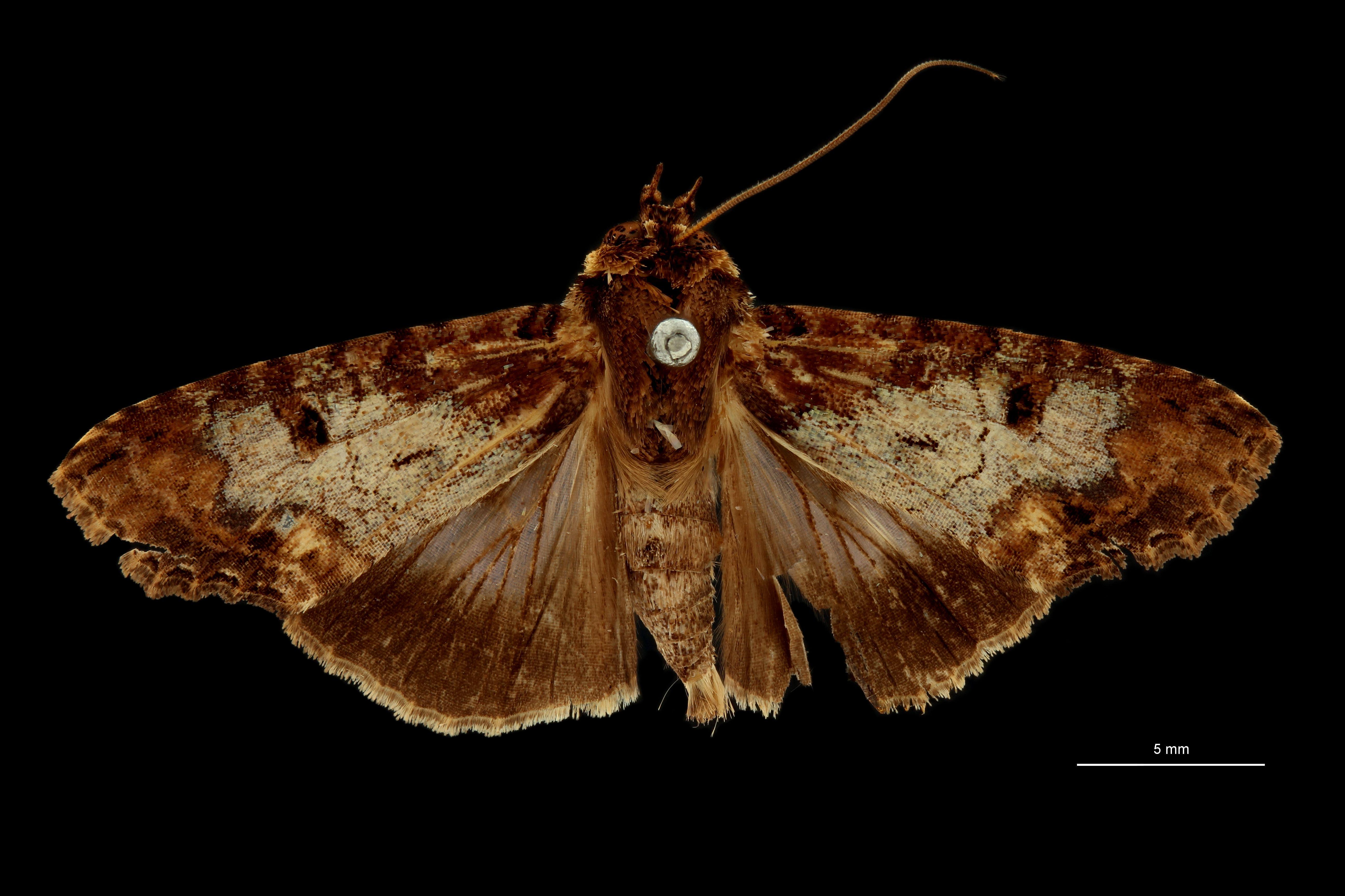 Stictoptera repleta form discoviridis ht D.jpg