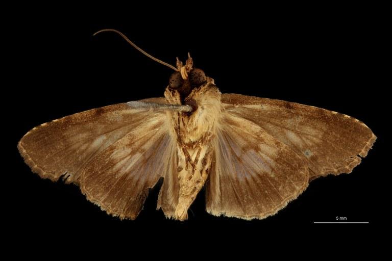 Stictoptera repleta form discoviridis ht V.jpg