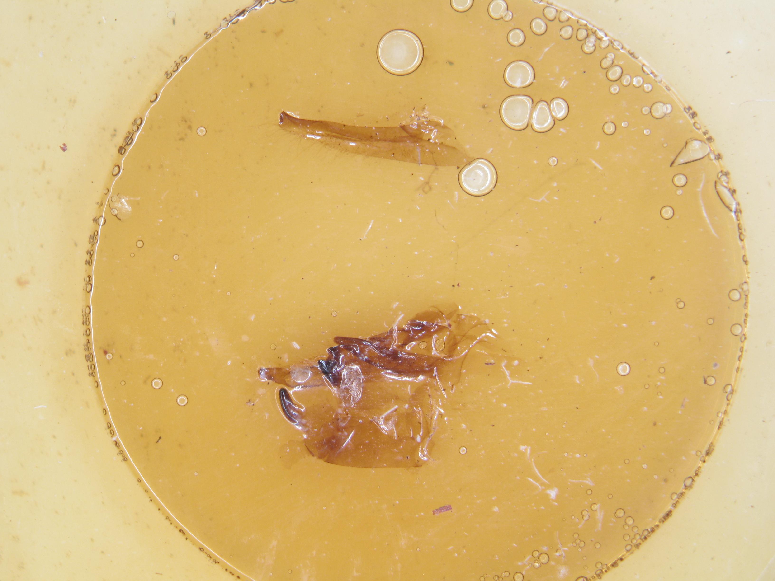 Cymothoe colmanti pt M G1.JPG