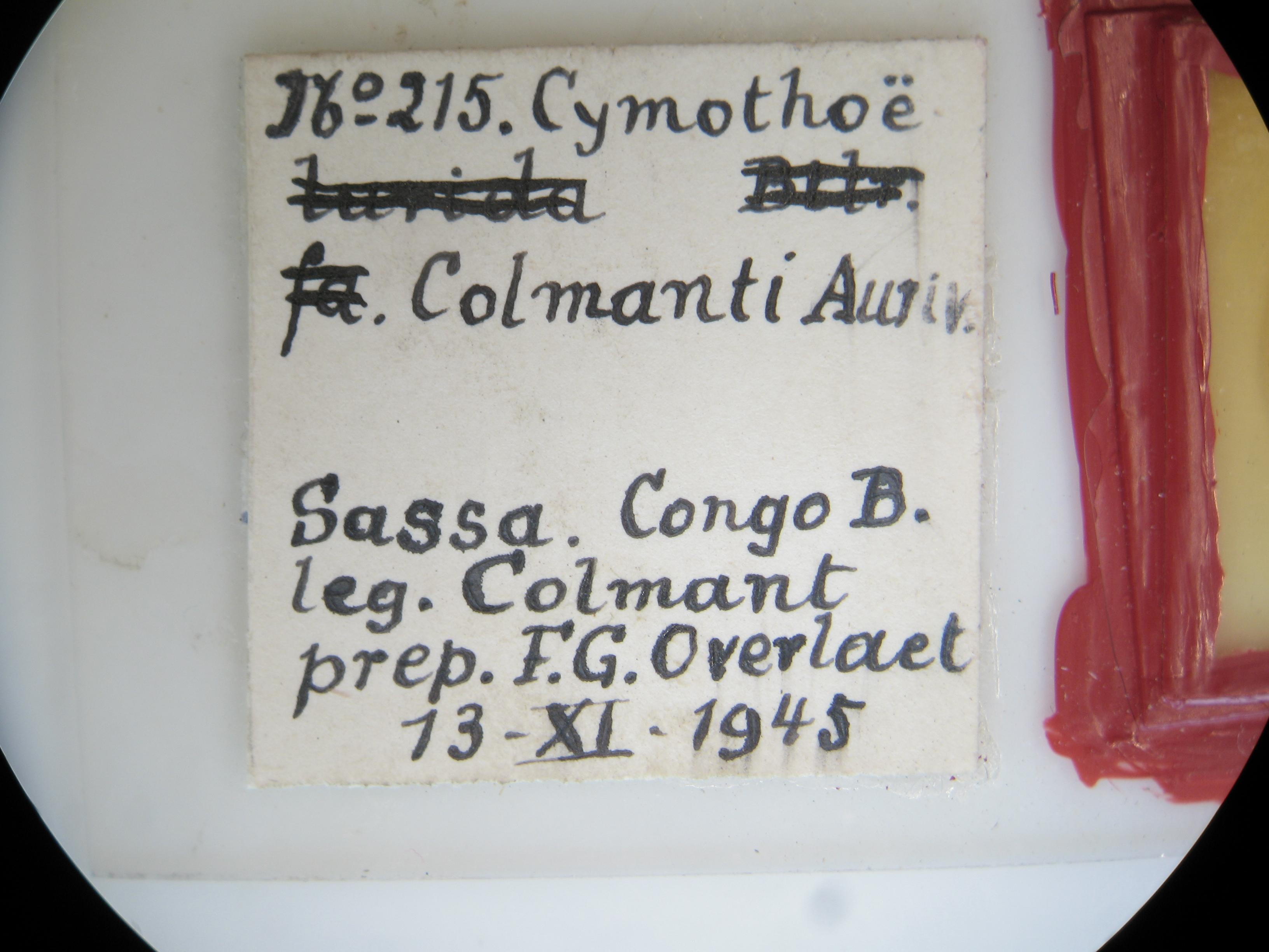Cymothoe colmanti pt M G Lb2.JPG