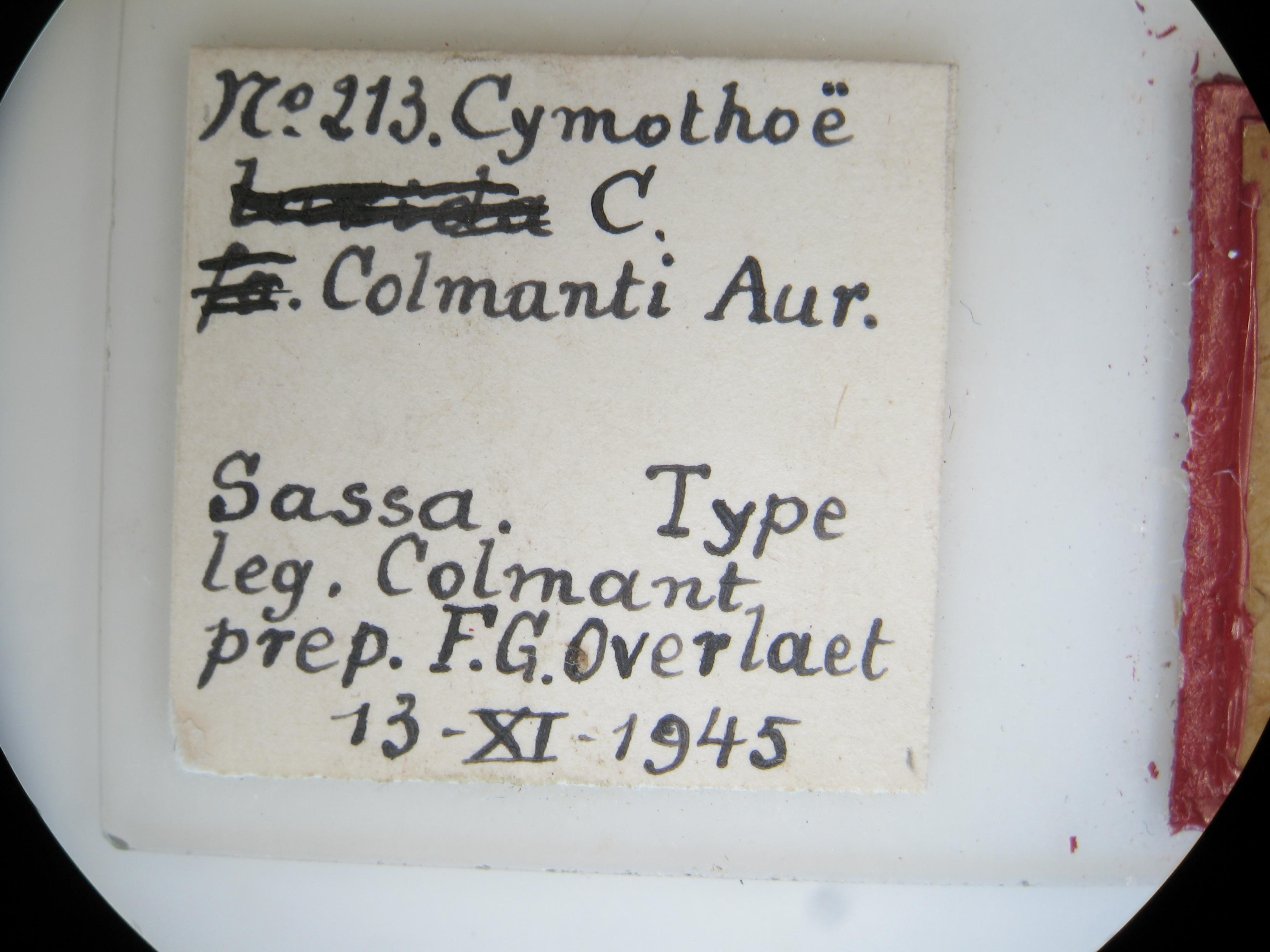 Cymothoe colmanti ht M G Lb2.JPG